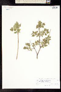 Image of Brickellia veronicifolia