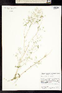 Image of Brickellia diffusa