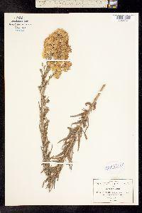 Image of Brickellia corymbosa