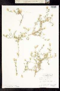 Image of Brickellia frutescens