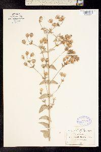 Image of Brickellia hartwegi
