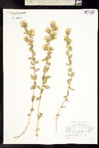 Image of Brickellia greenei