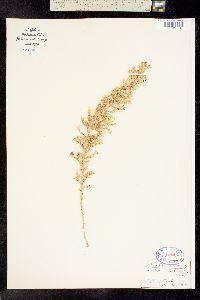 Brickellia spinulosa image