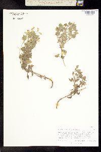 Image of Brickellia shineri