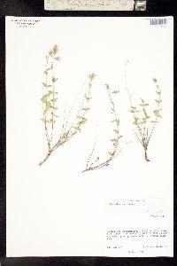 Image of Brickellia parvula