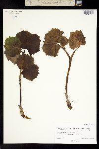 Image of Parasenecio auriculata
