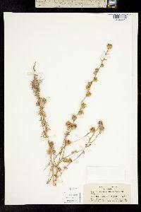 Image of Calycadenia ciliosa