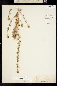 Calycadenia ciliosa image