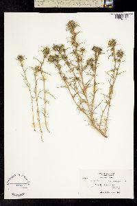 Image of Calycadenia multiglandulosa