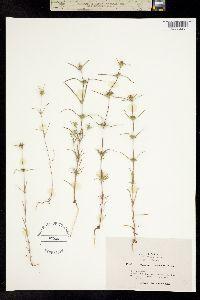 Image of Calycadenia oppositifolia