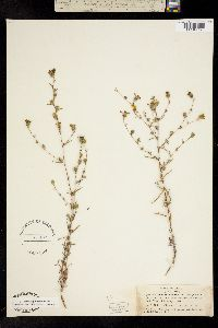 Image of Calycadenia truncata