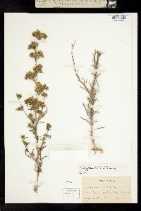 Image of Calycadenia mollis