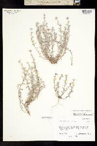 Image of Diaperia candida