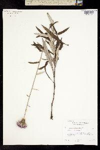 Image of Cirsium virginianum