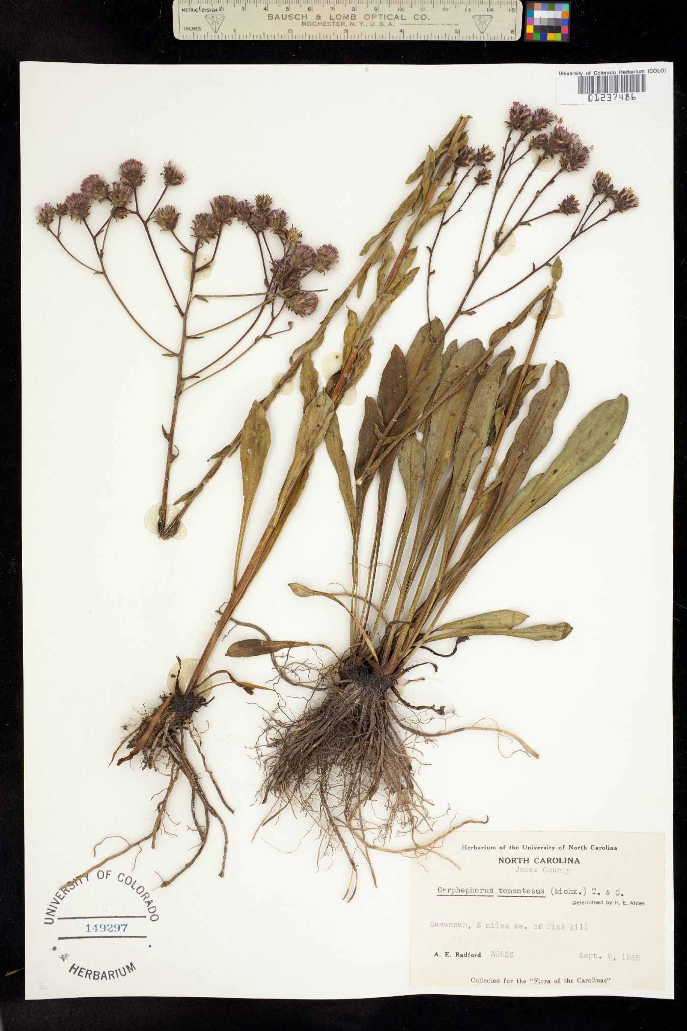 Carphephorus tomentosus image