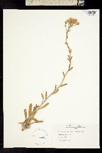 Image of Carphephorus corymbosus