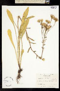 Carphephorus bellidifolius image