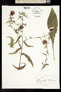 Centaurea nigra image