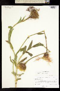 Plectocephalus rothrockii image