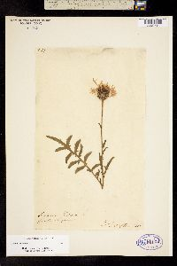 Image of Centaurea scabiosa