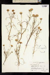 Image of Chaenactis fremontii