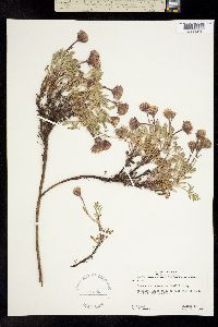 Image of Chaenactis nevadensis