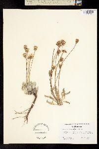 Image of Chaenactis santolinoides