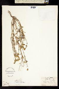 Chaenactis nevii image