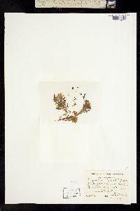 Image of Chaenactis cusickii