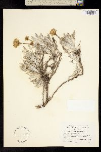 Image of Chaenactis suffrutescens