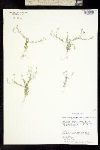 Image of Chaetopappa bellidifolia