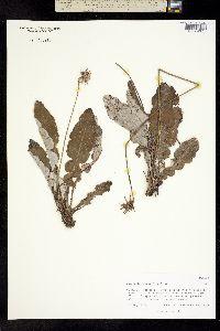 Image of Chaptalia nutans