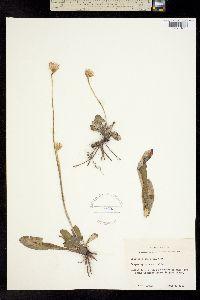 Image of Chaptalia tomentosa