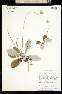 Image of Chaptalia texana