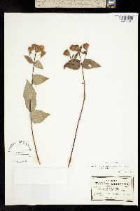 Chromolaena bigelovii image