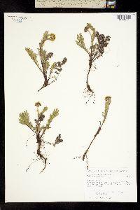 Chrysanthemum bipinnatum image