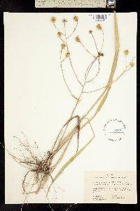 Image of Chrysopsis nervosa
