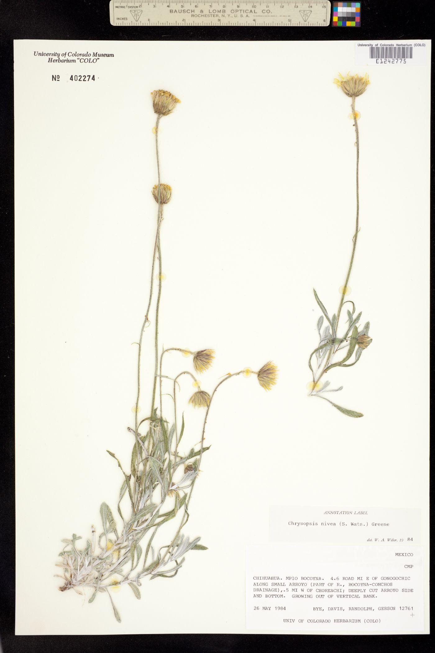 Chrysopsis nivea image