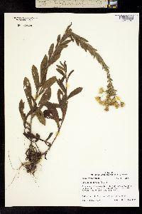 Image of Chrysopsis mariana