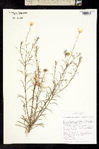 Image of Bradburia hirtella