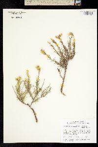 Ericameria parryi var. attenuata image