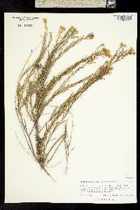 Chrysothamnus pulchellus image