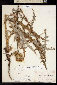 Image of Cirsium andersonii
