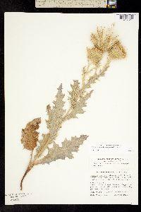 Image of Cirsium cymosum