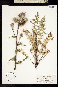 Image of Cirsium edule