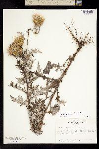 Image of Cirsium engelmannii