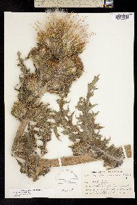 Image of Cirsium horridulum