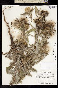 Image of Cirsium hookerianum