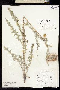 Image of Cirsium inamoenum