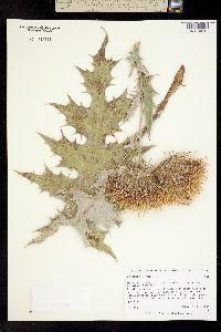 Image of Cirsium mexicanum
